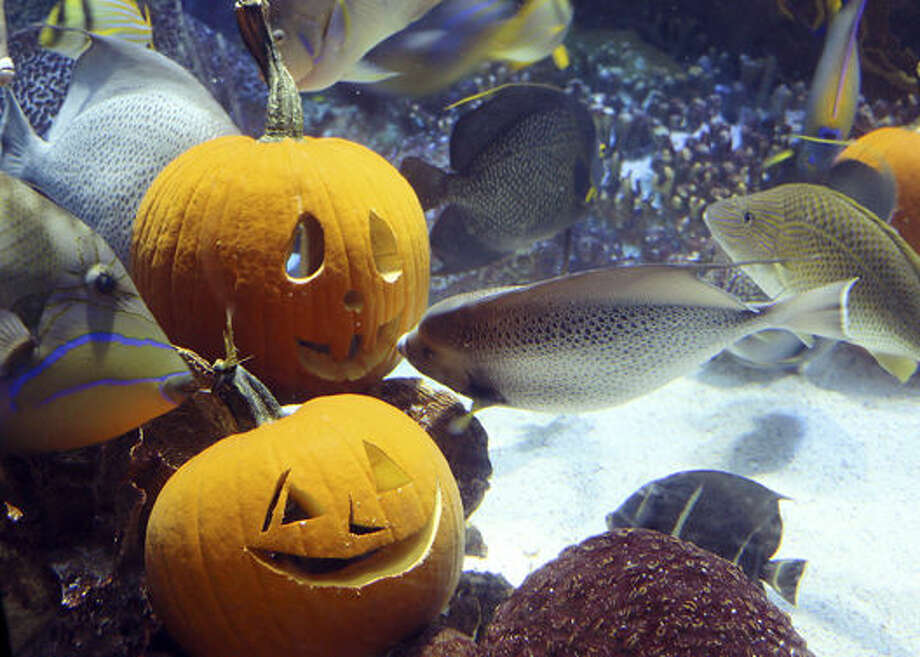 In this photo released by New England Aquarium, fish swim around carved pumpkins among coral reefs in the aquarium's 225,000-gallon ocean tank Friday, Oct. 30, 2015, in Boston. Photo: New England Aquarium Via AP