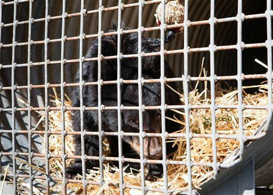 In this Oct. 20, 2015 photo, a bear cub, who was found wandering near the Bear River near Chinook, Wash., sits in a trap, to give his mother one last chance to find him. He has been taken to a wildlife rehabilitation facility by the Washington Department of Fish and Wildlife after being discovered by the Hazen family, which fed him apple slices. (Natalie St. John/The Chinook Observer via AP) Photo: Natalie St. John