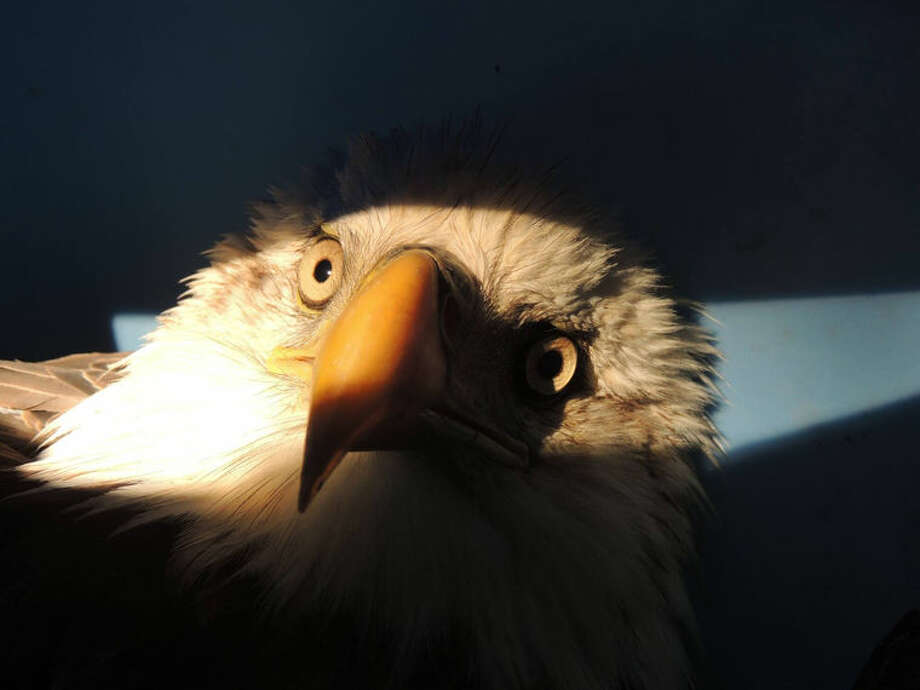 Barb Rogers of the Wildlife Recovery Association posted this photo earlier this month of the injured eagle. The eagle remains at the association's rehabilitation facility in Shepherd. Photo: Wildlife Recovery Association
