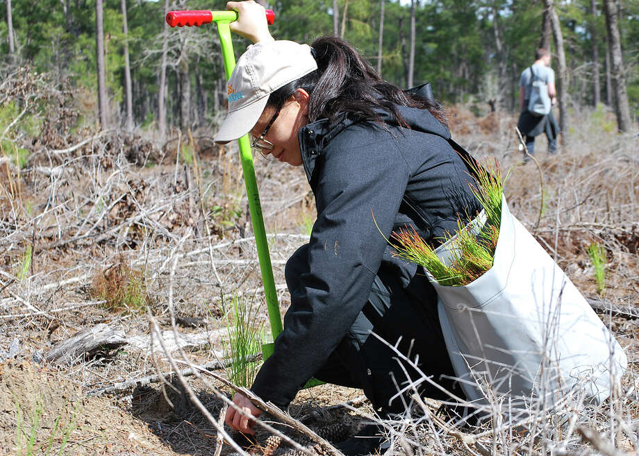 Vivian Luong of Orange plants a longleaf pine seedling as part of the Centennial Forest project.