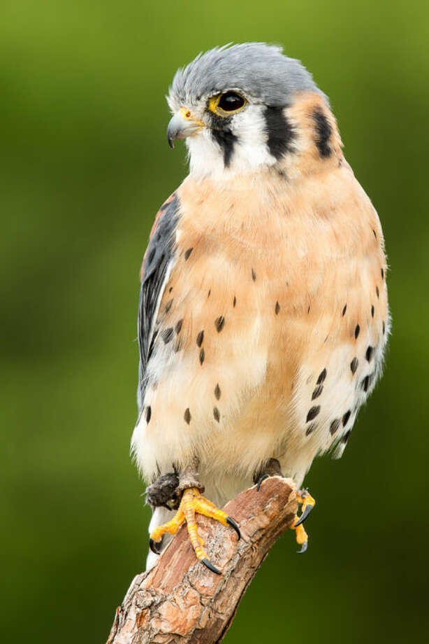 Photo by Paul D. NovakAn American Kestrel photographed during the 38th annual Summer Weekend of Photography and Digital Imaging. Photo: Paul_Novakk