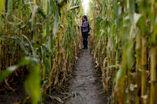 Meridian Elementary School fourth grader Karlee Turner pauses in the corn maze at Gerald and Carolyn Laurenz's farm in Wheeler to take a closer look during a tour on Tuesday.