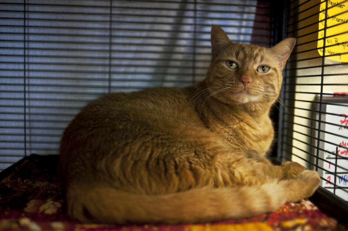 ZACK WITTMAN   For the Daily NewsCasey, a 2-year-old ginger tabby, awaits adoption in her cage at the Humane Society in Midland on Saturday afternoon.