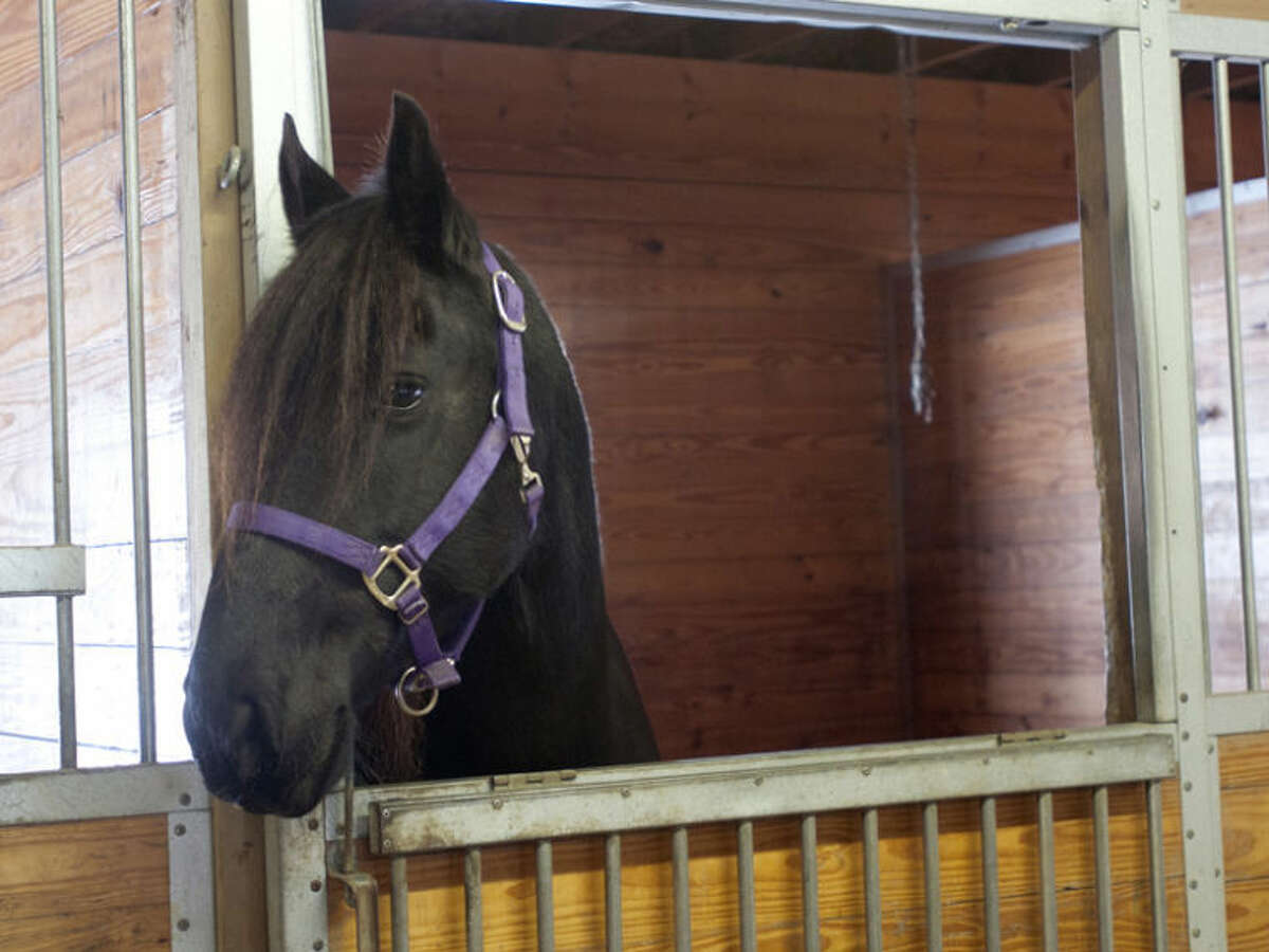 AP Photo | The Saginaw News, Jeff SchrierMariska, a Friesian horse that belongs to Sandy Bonem of Larkin Township, tries to open the doors in her stable to escape and raid the hay storage area.