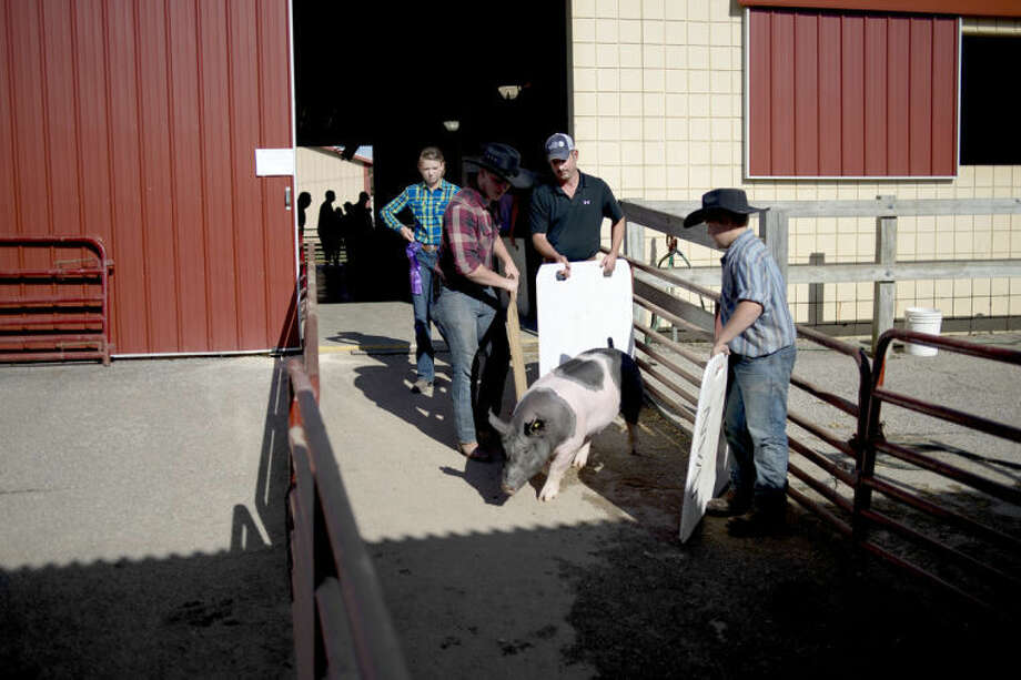 NICK KING | nking@mdn.netJeffery Franklin, 17, left, and Jimmy Miron, 11, right, help guide a pig through the barns to the auction arena Thursday Youth Large Animal Auction at the Midland County Fair. Photo: Nick King/Midland  Daily News
