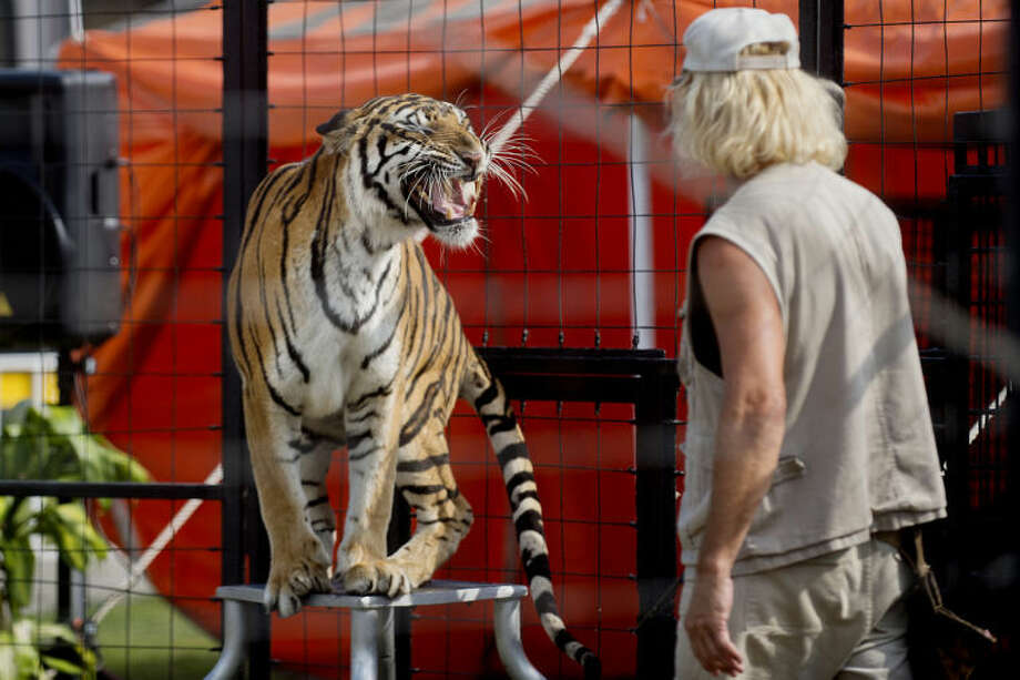 NICK KING | nking@mdn.netTrainer Brunon Blaszak, right, looks on as one of his six tigers shows off its teeth during the tiger show Monday at the Midland County Fair. Photo: Nick King/Midland  Daily News