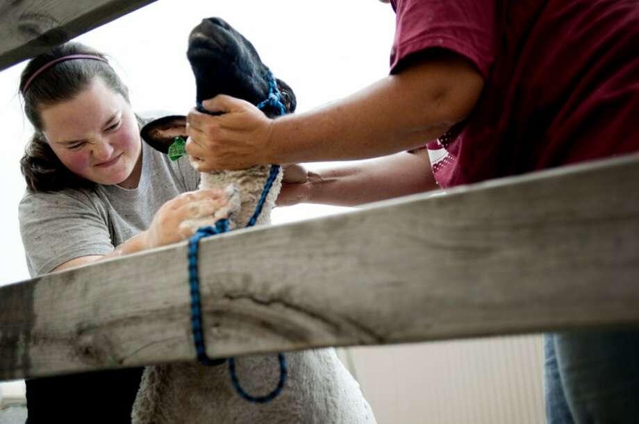 "THOMAS SIMONETTI | tsimonetti@mdn.netChandler Steele, 16, left, and her mother Trish Steele, both of Midland, wash ""Crazy Ewe"" on Saturday in preparation for Monday's sheep judging at the Midland County Fair. Photo: Thomas Simonetti/Midland  Daily"