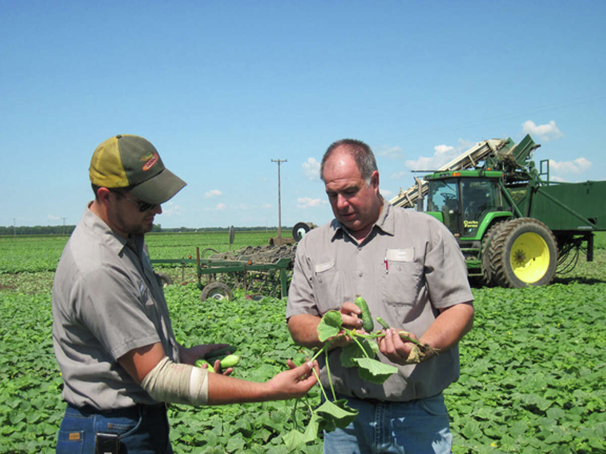 Nathan (left) and David Clarke grow pickles for delivery to a processing plant--not for the fresh market, such as for farmers' markets--where they are made into pickle chips, spears, or relish.