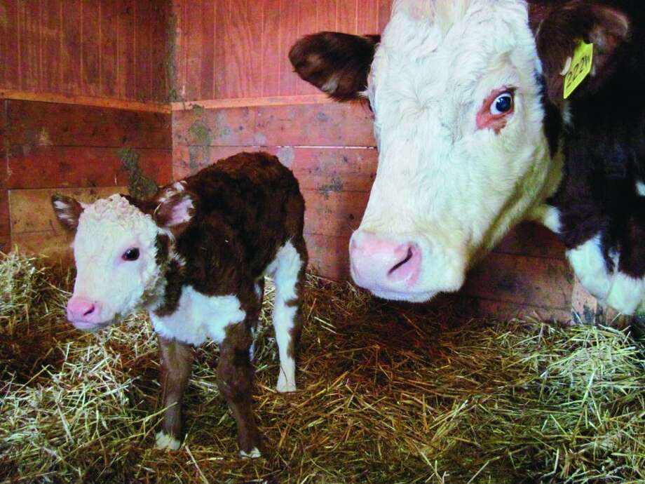 February and March are the active months for birthing of show calves at Boulder Clay Farm. Mother Flirt delivered baby heifer Farrah on Feb. 4. Photo by Cindy Crain Newman