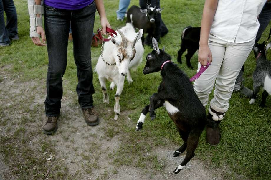 BRITTNEY LOHMILLER | blohmiller@mdn.netHaley Kukla, left, 15, of Auburn, and Alexia Figueroa, 10, of Midland, hold their goats while waiting for the small animal auction at the Midland County Fair Wednesday evening. Their goats Snow White, left, and Daisy head-butted each other before the start of the auction. Photo: Brittney Lohmiller