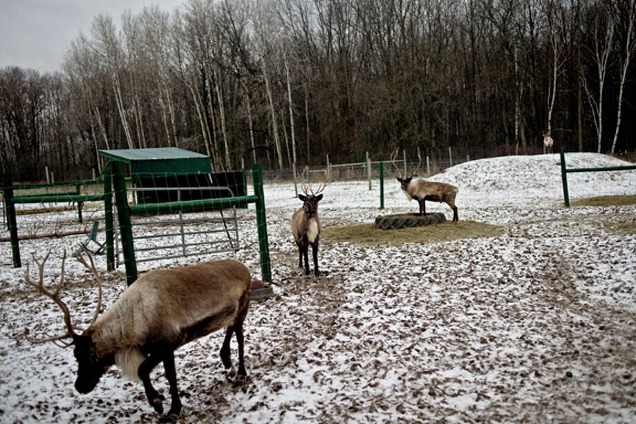 Rooftop Landing Reindeer Farm in Clare is opening its doors for the first time for seasonal visits. The farm will be open on Saturdays from 10 a.m. to 8 p.m. and Sundays from 11 a.m. to 7 p.m. Photo: Sean Proctor/Midland  Daily News / Midland Daily News