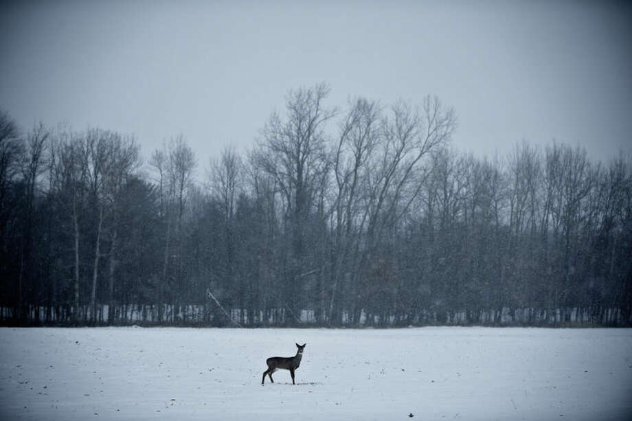 SEAN PROCTOR | sproctor@mdn.net A deer stands in the middle of a field off East Brooks Road on Monday afternoon. An arctic air mass brought colder than usual temperatures to much of the contiguous United States. Photo: Sean Proctor/Midland  Daily News