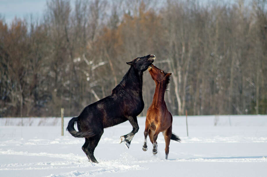 NICK KING | nking@mdn.net Two horses rise on their hind legs as they seem to play in the snow in an open field off Beaverton Road in Beaverton on Thursday afternoon. Photo: Nick King/Midland  Daily News / Midland Daily News
