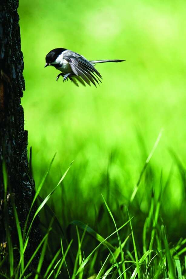THOMAS SIMONETTI | tsimonetti@mdn.netA chickadee flies to a tree trunk where it is excavating a nest cavity.  Photo: Thomas Simonetti