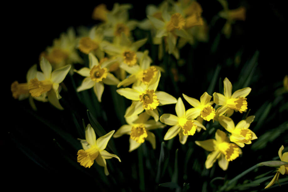 THOMAS SIMONETTI | tsimonetti@mdn.net Daffodil bulbs, like the ones above are toxic. Many plants are toxic, including popular ones, making it tough to plant a garden that doesnÕt include something toxic.