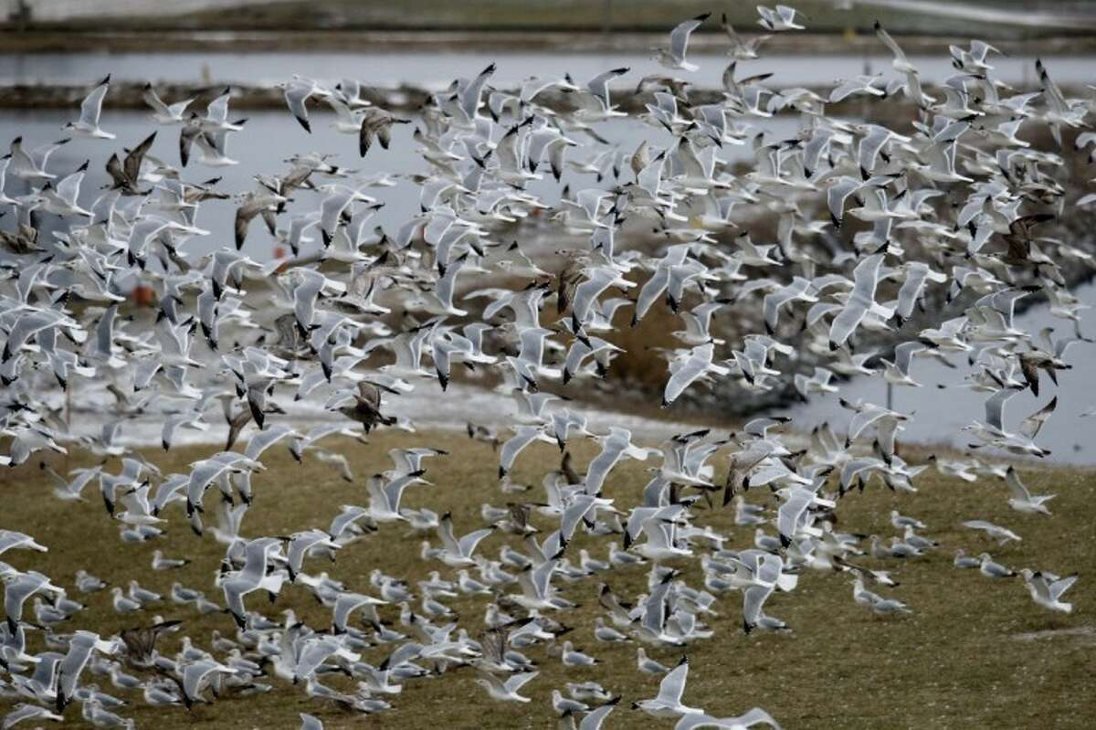 NICK KING | nking@mdn.net Hundreds of gulls fly around the Dow Chemical cooling ponds Wednesday in Midland. The birds, which fly above the water and at times sit still on the water and the surrounding grass areas, can be observed from Whiting Overlook Park in Midland.