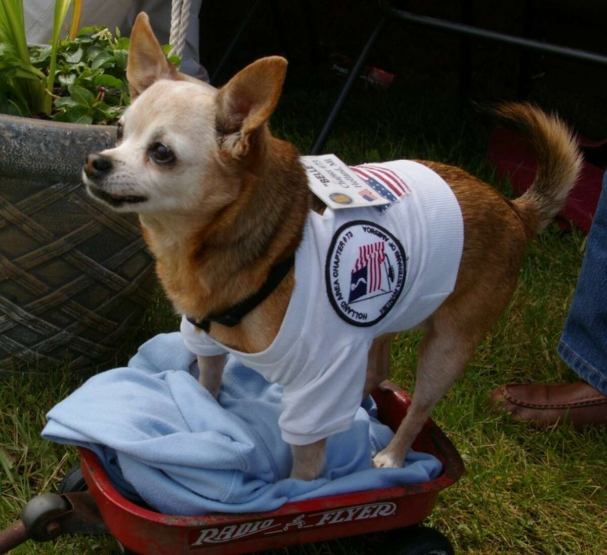 Stuart Frohm   for the Daily NewsBelle, a Chihuahua also called Tinkerbell, tries out the little wagon bought for her for $5. The dog is owned by Ron and Linda DeWaard of Holland.