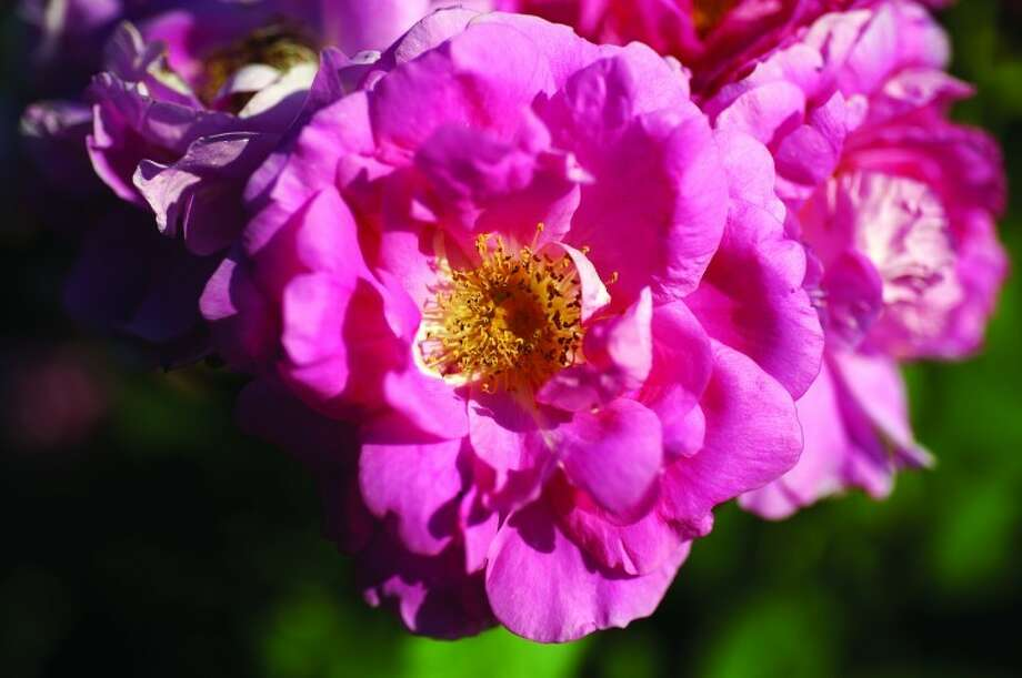 """A """"Morden Centennial"""" rose blooms in the sunlight in the rose garden at Dow Gardens in Midland. Photo: Neil Blake"""