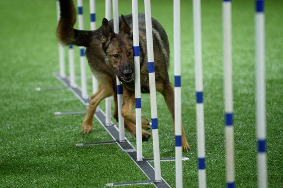 NICK KING | nking@mdn.net Karin Spiers' German Shepherd Lucion goes through the slalom  during a dog agility class at TNT Dog Center in Midland. Instructor Pat Parker teaches the course where dogs run with their owners, off the leash, jumping over hurdles, crawling through tunnels, going across teeters, and more. Photo: Nick King/Midland  Daily News / Midland Daily News