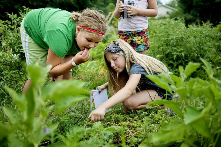 NICK KING | nking@mdn.net Madison Maxwell, 9, center, and Madison Griffin, 10, left, sample some of the wild edible weed purslane during their journaling assignment to find wild plants and flowers in the garden during a kids gardening class at Creative 360. Photo: Nick King/Midland  Daily News