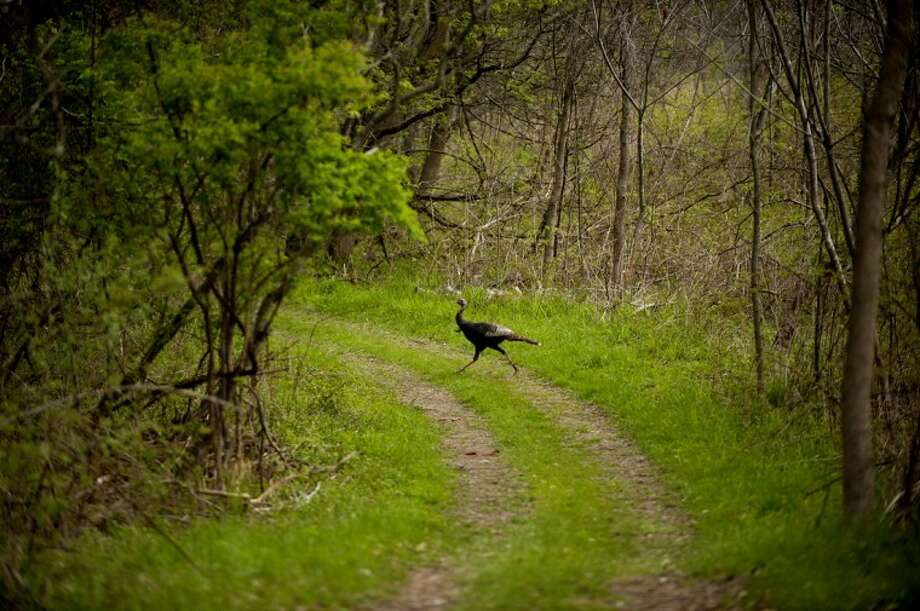 A turkey crosses a trail in this Daily News file photo. The first of the spring hunting seasons for turkey began Monday morning