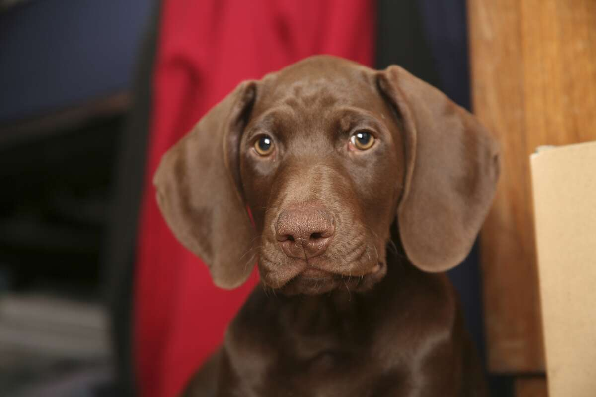 IN: The German short-haired pointer. TSA has started to use five floppy-eared dogs breeds exclusively for passenger-screening at airports.