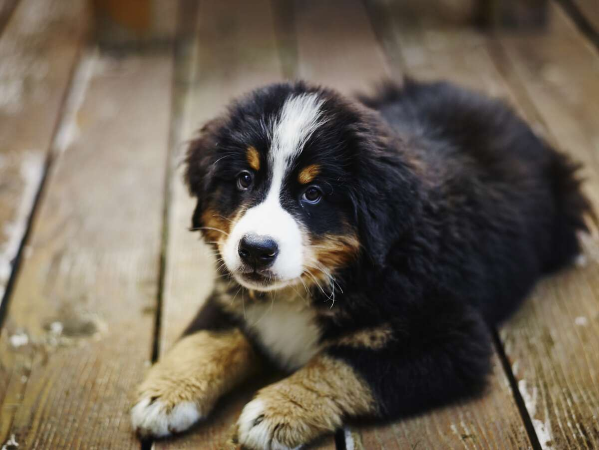 Curious which dogs are the most family friendly? PetBreeds turned to data from Animal Planet and The Intelligence of Dogs to create an index of six criteria that make a dog family-friendly. These dog breeds made the cut, and could make the perfect pup for your family.