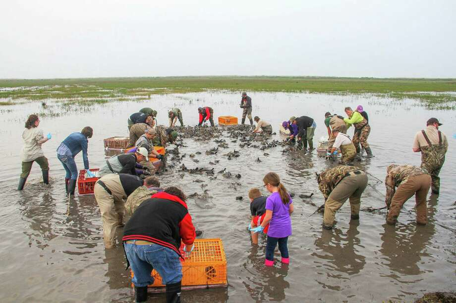 Wildlife scientists and volunteers scramble to remove, sort and transport some of the more than 300 ducks and coots captured under a rocket-propelled net at Anahuac national Wildlife Refuge this past week. Photo: Shannon Tompkins, Houston Chronicle