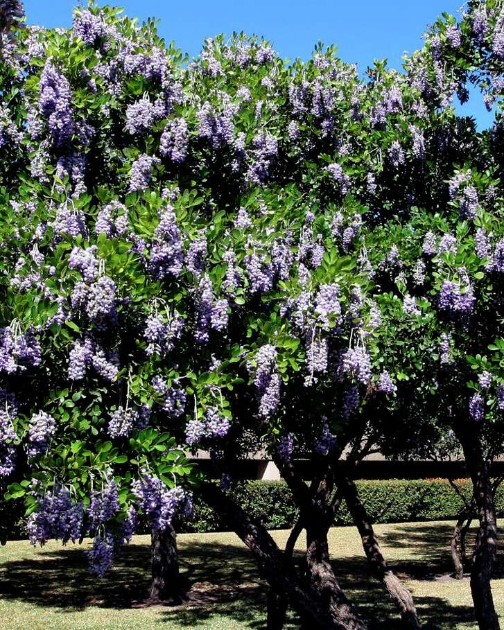 Texas mountain laurel (Sophora secundiflora) is a hardy landscape tree that blooms in late February and early march. The flowers smell like grape soda.