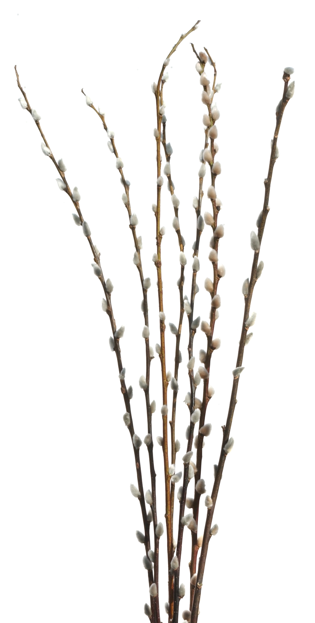 Pussy willows pruning