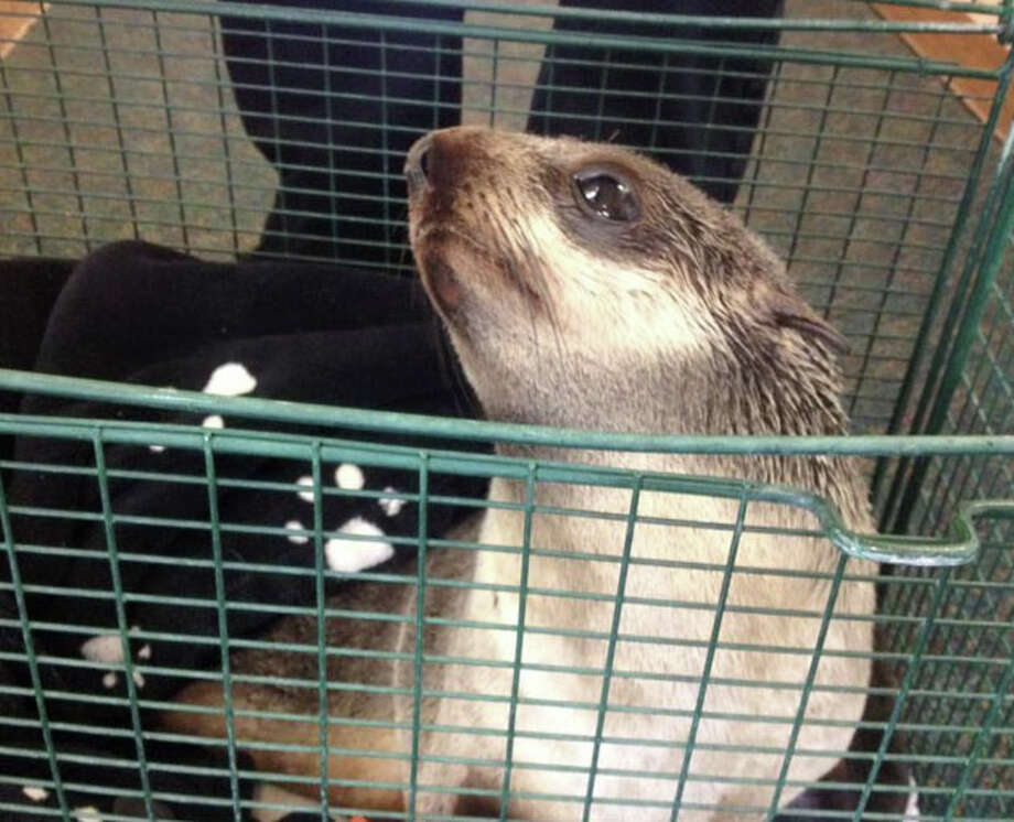 A northern fur seal pup was rescued Thursday after it apparently lost its way, tried to cross a street in Fremont and eventually waddled into the front yard of a home, authorities said. Photo: Fremont Police Department