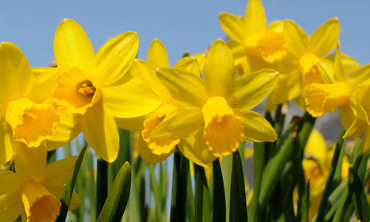 Meriden Daffodil Festival April 30 - May 1, 2016The annual festival has a parade, craft fair, live music, fireworks, food vendors and carnival rides. Find out more.