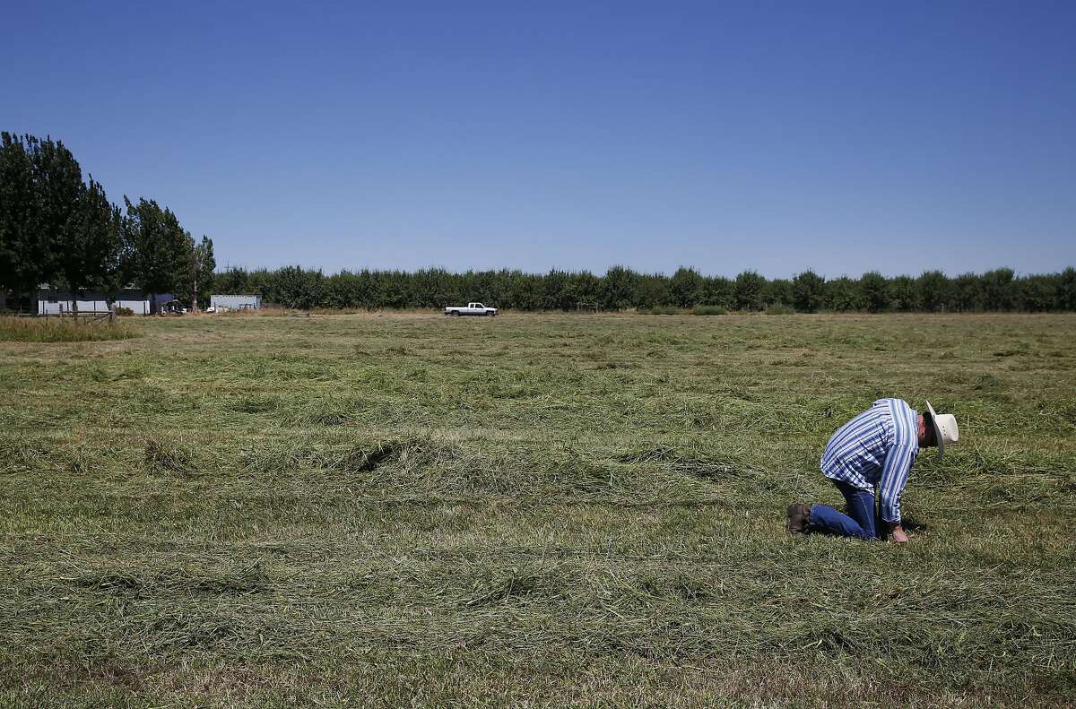 """Dennis Baker, 53, feels how dry his hay field is after it was cut early to avoid fire danger after it dried out because of lack of water at Baker's home July 14, 2015 in Tracy, Calif. Baker, though he has senior water rights, had his water turned off after the California State Resources Control Board ordered Banta-Carbona Irrigation District to stop pumping water. Baker was forced to cut his hay early because of a fear that his 40 acres would catch on fire due to the dryness. Another concern is that his """"permanent pasture"""" of reseeding grass will die. The grass has been reseeding itself for over 50 years and if it dies, he will have to replant it, which will cost extra money in a time where his small business is already strapped for cash."""
