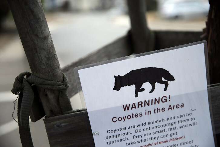 A sign warning residents of the presence of coyotes hangs from a tree on Paloma Ave as Mary Paglieri, a coyote expert for the Little Blue Society, investigates reports of a pack of coyotes scaring residents of the Ingleside Terraces neighborhood in San Francisco, Cali., on Thursday, September 10, 2015. Paglieri says she has a system, developed after years of working with wild animals, including elephants in Africa, that works to remove wild animals from neighborhoods. It is an issue more and more residents of San Francisco are dealing with as coyotes expand into urban areas. The drought has made things worse, reducing prey species like mice and voles.