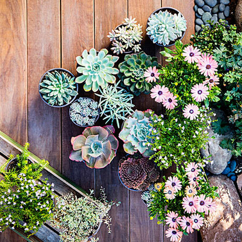 Floral accent Potted Echeveria and Senecio mix well with other low-water, sun-loving perennials such as African Daisy. Keep single plants in individual pots to easily change the grouping with the seasons. Photo: Thomas J Story/Sunset Publishing