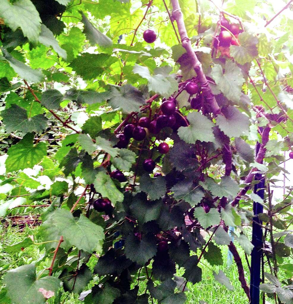 grapes make a great summer crop whether they u0027re grown in the