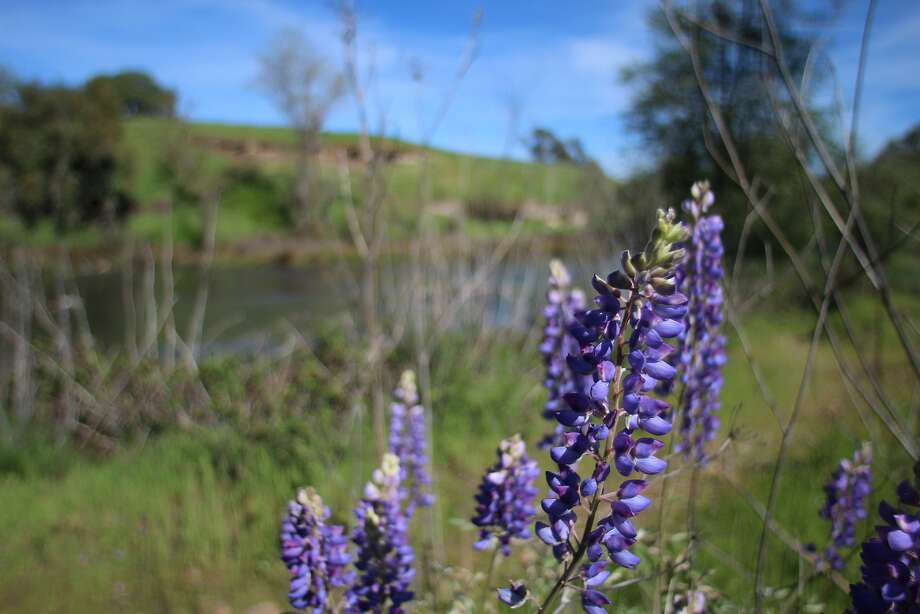 Wildflowers along the river banks at the Mokelumne River Day Use Area south of Camanche Reservoir in San Joaquin County. Photo: Spud Hilton, The Chronicle