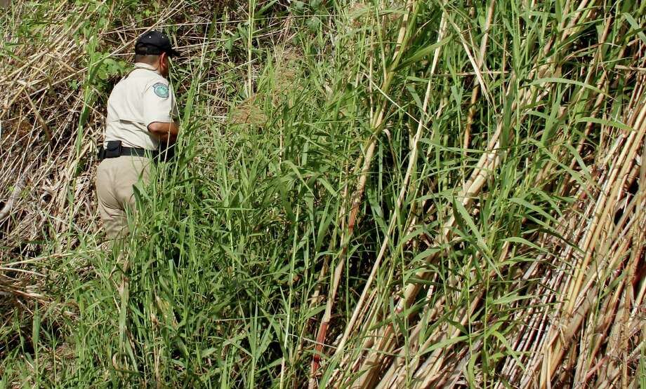 In this file photo, Texas game warden Oscar Jaimez pushes his way through a wall of cane along the Rio Grande to investigate suspicious activity wardens noted as they patrolled the border river. Giant cane is a significant safety hazard for those charged with enforcing laws along our border. Photo: Shannon Tompkins /Houston Chronicle / Houston Chronicle