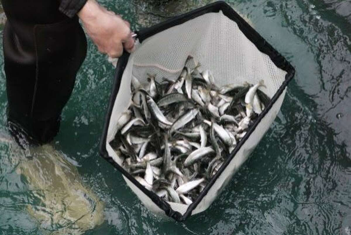 In this Wednesday, Feb. 17, 2016 photo, Juvenile winter-run salmon are loaded into trucks at the Livingston Stone National Fish Hatchery near Redding, Calif. The fish were released into the Sacramento River as part of an effort to save the struggling species that has seen two die-offs in a row the past two years. (Andreas Fuhrmann/The Record Searchlight via AP) MANDATORY CREDIT