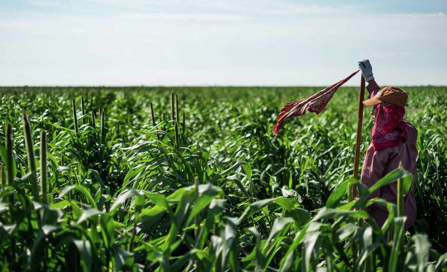 A migrant farm worker marks the row of sorghum the workers are walking and working in Plainview, Texas, in 2015.  Photo: Rodolfo Gonzalez, MBO / Austin American-Statesman