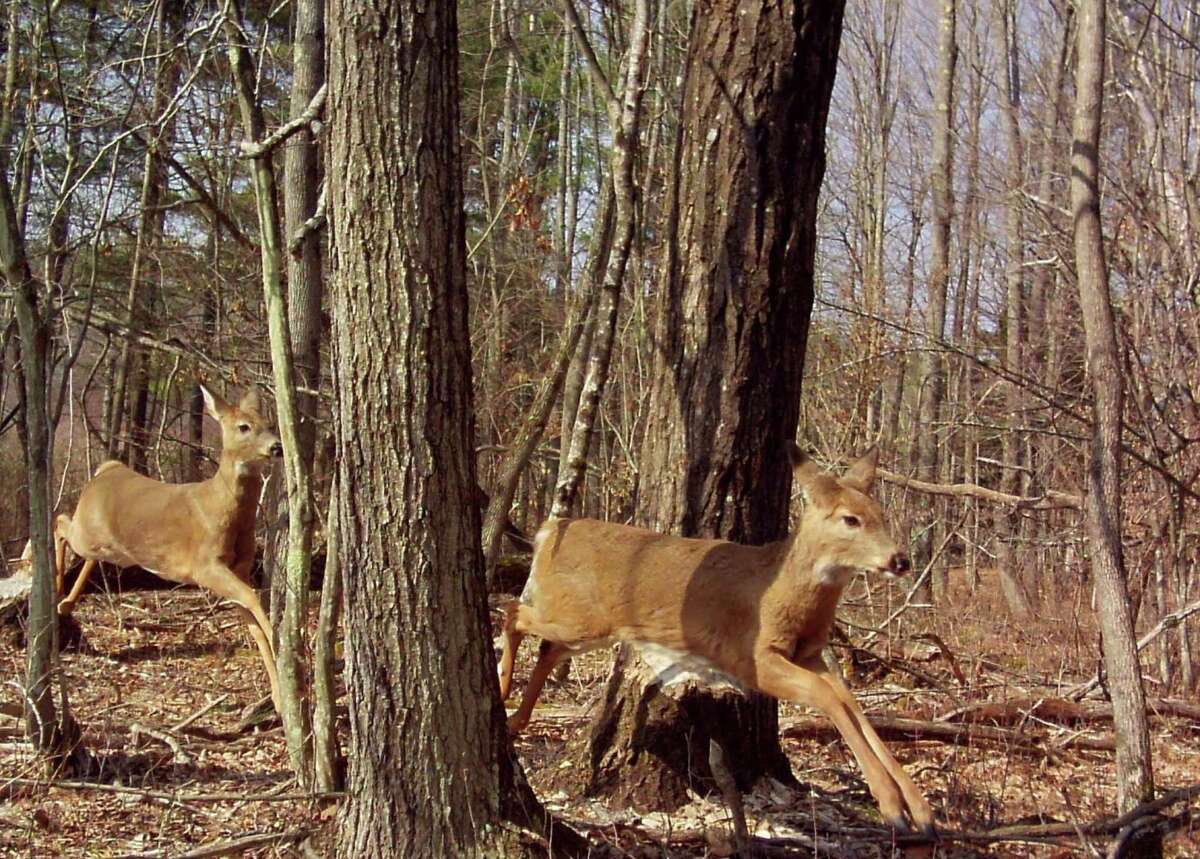 John Granato of Latham, caught this photo of these energetic deer jumping through the woods with his trail camera. Taken on his brother-in-law's land in East Berne. (John GRanato)