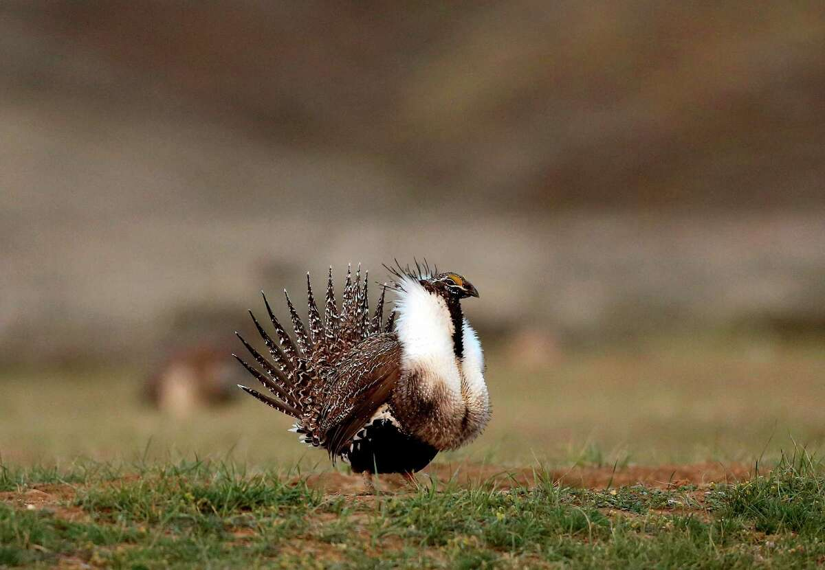 A male sage grouse struts near Baggs, Wyo. The greater sage grouse inhabits sage brush ecosystems spread across 11 Western states.