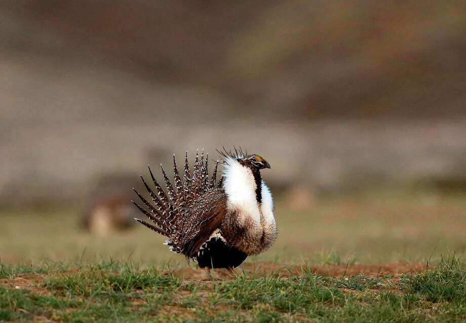 A male sage grouse struts near Baggs, Wyo. The greater sage grouse inhabits sage brush ecosystems spread across 11 Western states. Photo: Dan Cepeda, MBR / Casper Star-Tribune