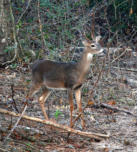 "Recently adopted changes in Texas hunting regulations now define ""unbranched antlered deer,"" addressing confusion over rules governing taking of ""spike"" bucks. Photo: Shannon Tompkins / Houston Chronicle"
