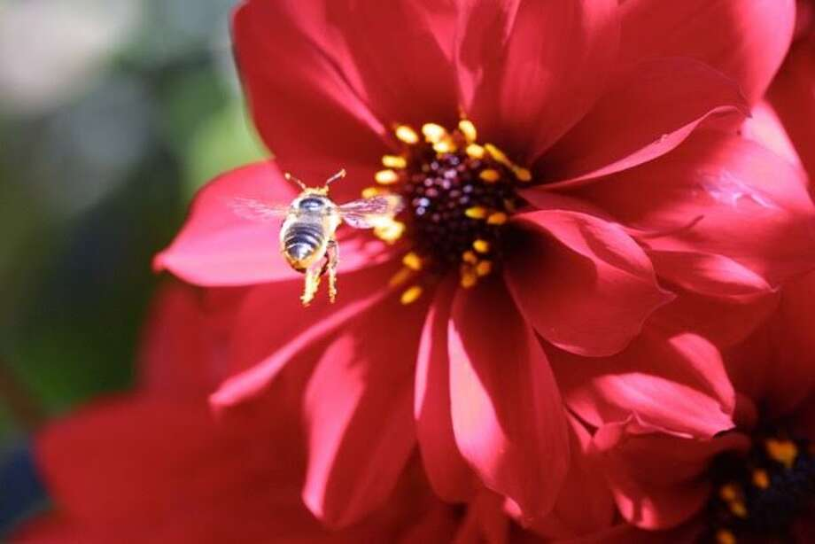 Dahlias: They're vibrant, colorful and a provide pollen for bees. (photo: Keeyla Meadows)