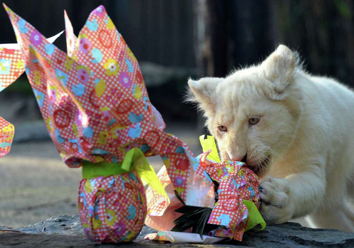 A white lion cub opens a wrapped package on Easter on March 27, 2016 at the zoo of La Fleche, northwestern France. / AFP / JEAN-FRANCOIS MONIER