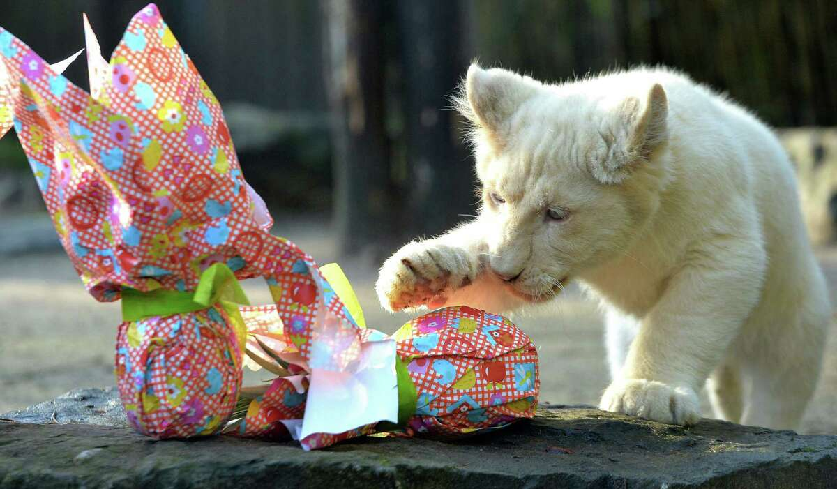 A white lion cub opens a wrapped package on Easter at the zoo in La Fleche, northwestern France, on March 27, 2016. / AFP / JEAN-FRANCOIS MONIER