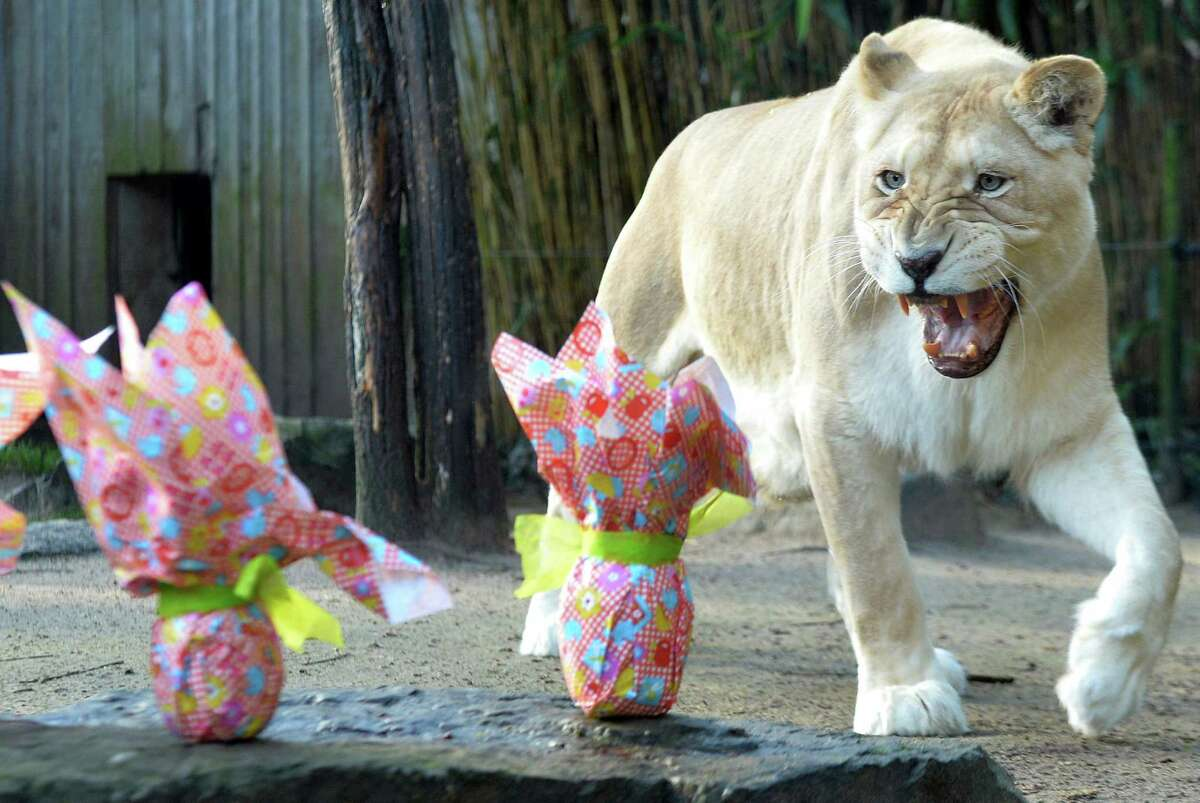 Nikita, a 9-year-old Lion and his white lion cub look at wrapped packages on Easter at the zoo in La Fleche, northwestern France, on March 27, 2016. / AFP / JEAN-FRANCOIS MONIER