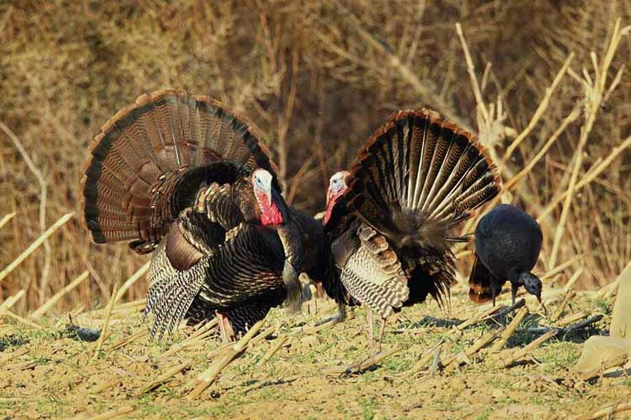 Wild turkey hunting season begins in April Photo: Contributed Photo / All Rights Reserved