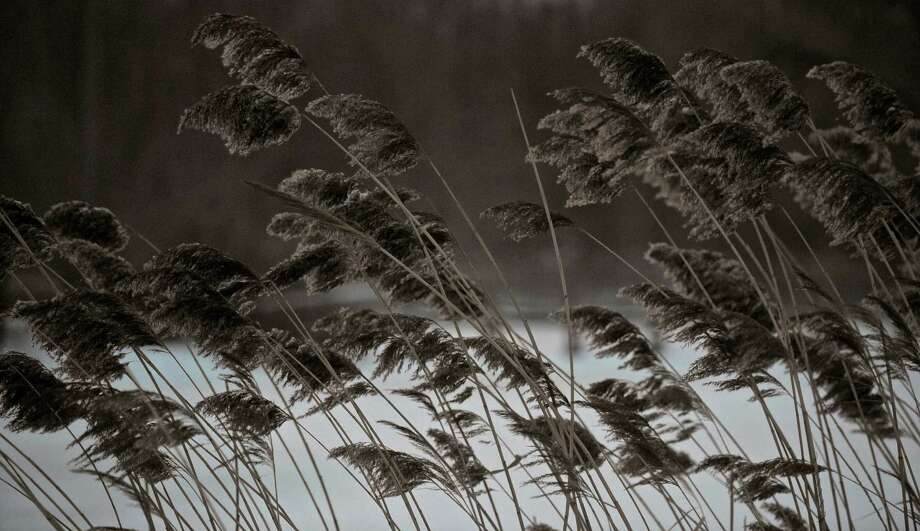The wind bends the tall grass growing next to Rogers Park Pond on Tuesday, January 27, 2015, in Danbury, Conn. Photo: H John Voorhees III / H John Voorhees III / The News-Times